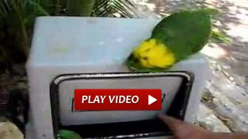 Laughing Parrot
