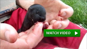 Cute Baby Minks Eat