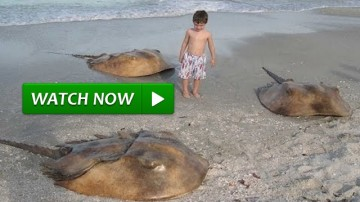 Horseshoe Crab Looks Like