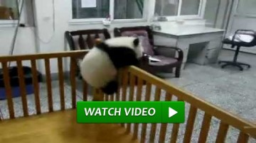 baby panda escapes